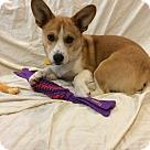 Adopt A Pet :: Corgi Mix Pup