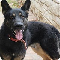 Adopt A Pet :: Bravo - Keller, TX