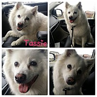 Adopt A Pet :: Tassie - Garden City, MI