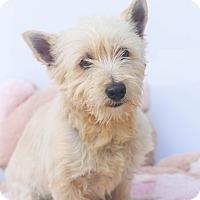 Adopt A Pet :: Sherlock - Loomis, CA