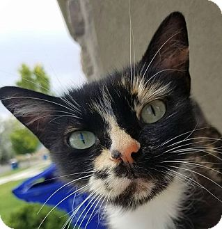 Domestic Mediumhair Cat for adoption in Midvale, Utah - Luna