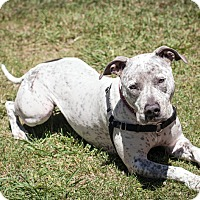 American Staffordshire Terrier/Cattle Dog Mix Dog for adoption in St Helena, California - Sprinkles