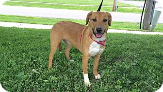 Shepherd (Unknown Type)/Retriever (Unknown Type) Mix Puppy for adoption in Detroit, Michigan - Tara
