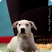 Dalmatian/Labrador Retriever Mix Dog for adoption in Jackson, Tennessee - Annie