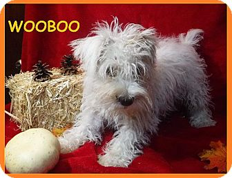 Schnauzer (Standard) Puppy for adoption in Batesville, Arkansas - WooBoo