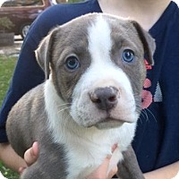 Pit Bull Terrier Mix Puppy for adoption in Austin, Texas - Barq