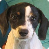 Beagle/Rat Terrier Mix Puppy for adoption in Allentown, Pennsylvania - Twinkie