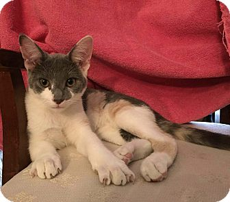 Domestic Shorthair Kitten for adoption in Lombard, Illinois - Scuba