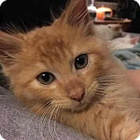 Adopt A Pet :: Pumpkin - Jerseyville, IL