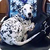 Dalmatian Mix Dog for adoption in Scottsdale, Arizona - Benny