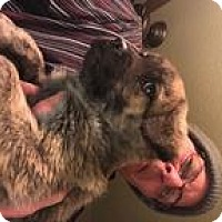 Adopt A Pet :: Argus--arriving soon - Chichester, NH