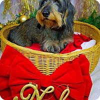 Adopt A Pet :: Shelby - Fenton, MO