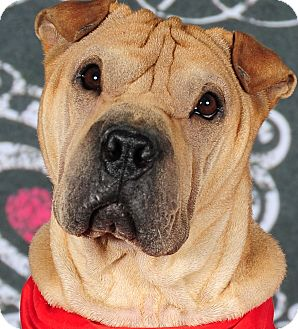 Shar Pei Dog for adoption in Barnegat Light, New Jersey - Rocky