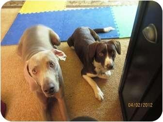 Brittany Mix Dog for adoption in Elyria, Ohio - Macy