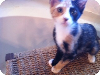 Calico Kitten for adoption in Weatherford, Texas - Madelyn