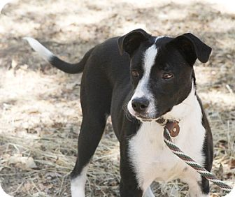 Scottie, Scottish Terrier Puppies and Dogs - adoptapet.com