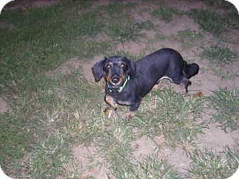Dachshund Dog for adoption in Lawndale, North Carolina - Riley