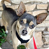 Adopt A Pet :: Dutch - Gilbert, AZ