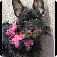 Adopt A Pet :: Bitsy - Rockwall, TX