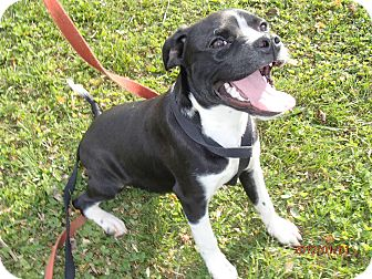 Boston Terrier Learning To Walk On A Leash | Dog Breeds ...