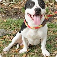 Adopt A Pet :: Pi - Gainesville, FL
