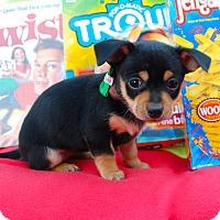 Adopt A Pet :: Scrabble - Irvine, CA