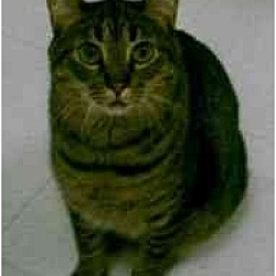 Photo 2 - Domestic Shorthair Cat for adoption in Milwaukee, Wisconsin - Spotty Muldoon
