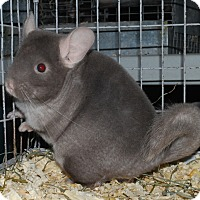 Adopt A Pet :: 4 mo brown velvet F chinchilla - Hammond, IN