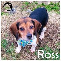 Adopt A Pet :: Ross - Novi, MI