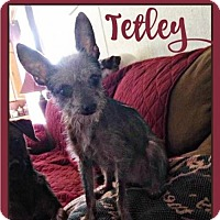 Chihuahua/Yorkie, Yorkshire Terrier Mix Dog for adoption in Pensacola, Florida - Tetley