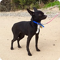 Chihuahua Mix Dog for adoption in Emeryville, California - ROBBIE