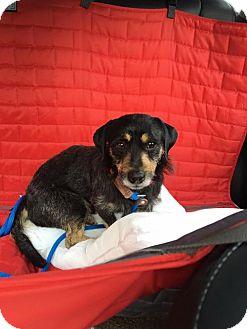 Norfolk Terrier/Cairn Terrier Mix Dog for adoption in Houston, Texas - Alex