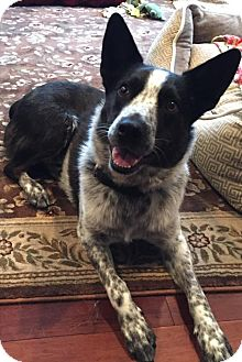 Australian Cattle Dog/Australian Shepherd Mix Dog for adoption in Westwood, New Jersey - Oreo