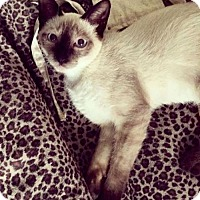 Siamese Cat for adoption in Austin, Texas - Tuesday
