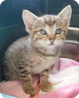 Domestic Shorthair Kitten for adoption in Waupaca, Wisconsin - Keanu