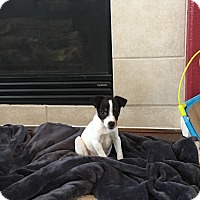Rat Terrier Puppy for adoption in Fort Collins, Colorado - Percy (FORT COLLINS)