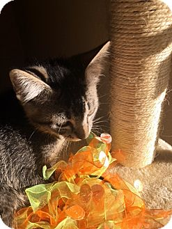 Domestic Shorthair Kitten for adoption in North Las Vegas, Nevada - Chandler