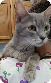 Domestic Shorthair Cat for adoption in Bedford, Indiana - Abigail