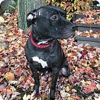 Adopt A Pet :: *Sheba - Elgin, IL