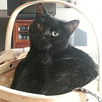 Bombay Cat for adoption in Woodland Park, New Jersey - Midnight Petite CT