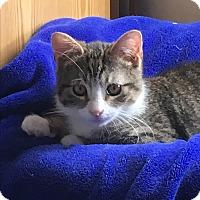 Adopt A Pet :: Gray - Whitehall, PA