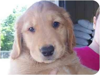 golden retriever mix puppies for sale in michigan puppies adopted puppy holland mi golden 9077