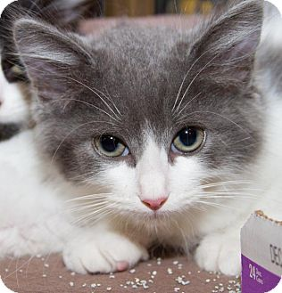 Domestic Longhair Kitten for adoption in Irvine, California - Sam