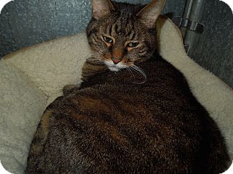 Domestic Shorthair Cat for adoption in Medina, Ohio - Boomer