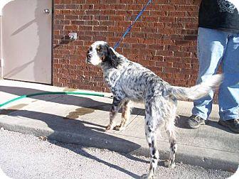 English Setter Mix Dog for adoption in Germantown, Maryland - Belton