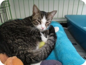 Domestic Shorthair Cat for adoption in Island Park, New York - Leo