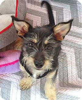 Yorkie, Yorkshire Terrier/Schnauzer (Miniature) Mix Puppy for adoption in Los Angeles, California - Lulu