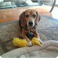 Adopt A Pet :: Farfel - Phoenix, AZ