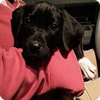 Adopt A Pet :: Nikki - Russellville, KY
