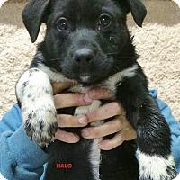 Adopt A Pet :: Halo - Wimberley, TX